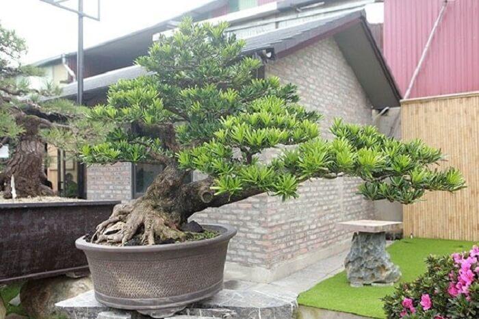 cây tùng đẹp