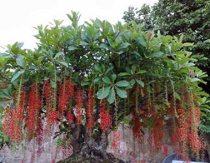 Nên trồng cây gì trước nhà cho mát