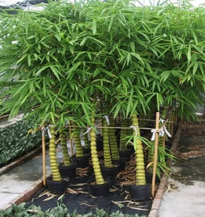 những cây nên trồng trước nhà